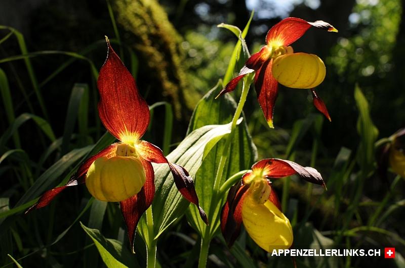 frauenschuh orchideen im appenzellerland. Black Bedroom Furniture Sets. Home Design Ideas